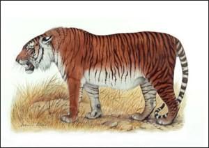 caspian-tiger